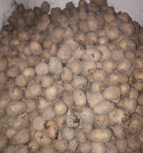 Картошка кормовая