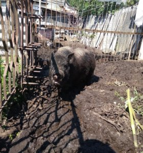 Огул свиней