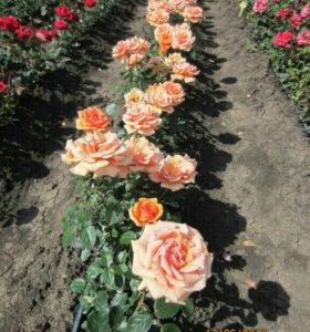 Саженцы роз на осень