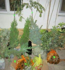 Деревья и кустарники на штамбе