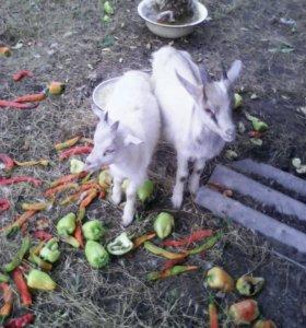 Козлята 3 мес