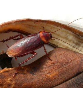 Тараканы Periplaneta Americana