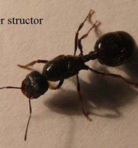 Матки муравьев жнецов