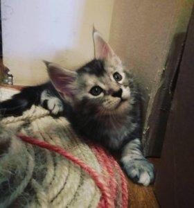 Продаю недорого котенка мейнкун