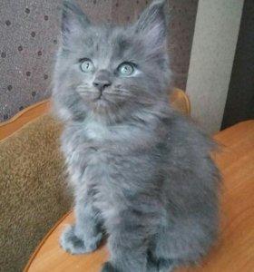 Котята мейн-кун.