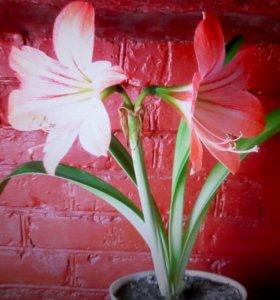 Гипеаструм  розовый и белый