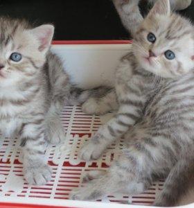Тигрята, леопардики и других окрасов котята