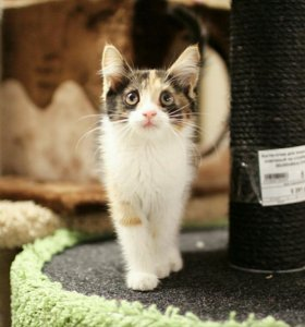Трехцветный котенок девочка в дар.