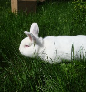 Новозеландские белые,бургундские кролики