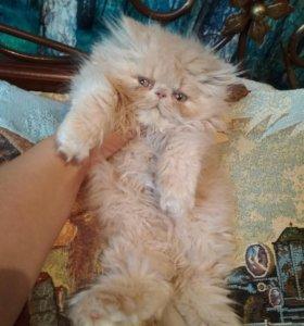 Кошечка перс экстремал