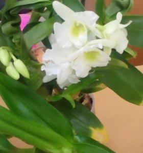 Орхидея Дендробиум белый