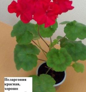 Пеларгонии белые и красные