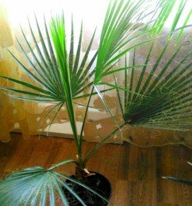 Пальма Вашингтония нитеносная
