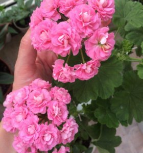 Пеларгония Swanlan Pink/Australian Pink Rosebud