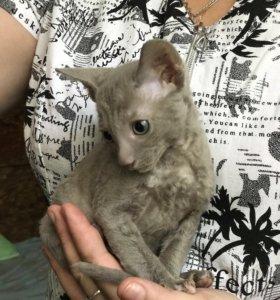 Корниш-рекс котята