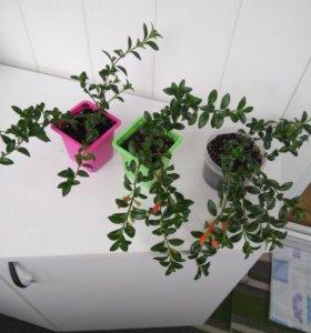 Гипоцирта, цветет круглый год