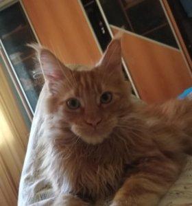 Мейн-куны НЕДОРОГО. Чистопородные котята.