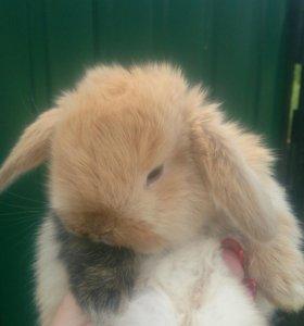 Вислоухие карликовые кролики