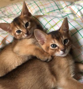 Абиссинские котят