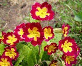 Примула и другие цветочки