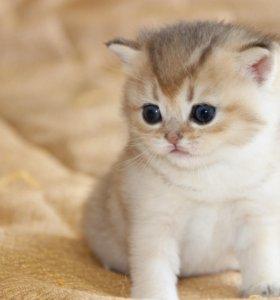 """Продаются котята порода """"Британская шиншилла"""""""