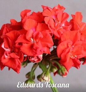 Сортовая пеларгония(герань) Edwards Toscana