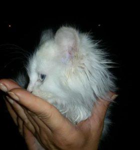 Беленький чудесный котенок