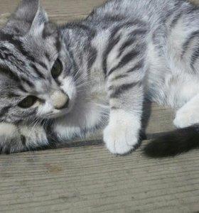 Продам котенка (девочка)