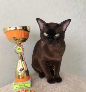 Бурманский котик на вязку