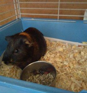 Заморская свинка