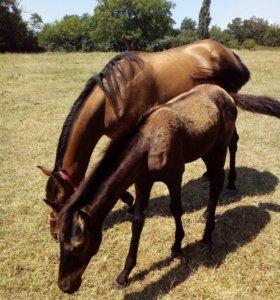 Лошадь полукровка