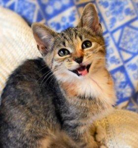 ласковый трехцветный котенок-девочка в дар 3 мес