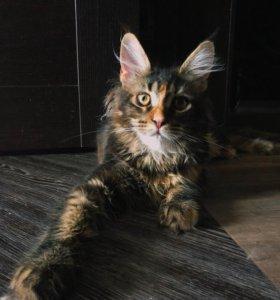 Котёнок мэйн-кун