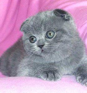 Шотланские плюшевых котята