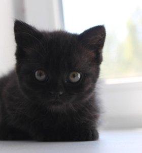 Шотландский котёнок (девочка)