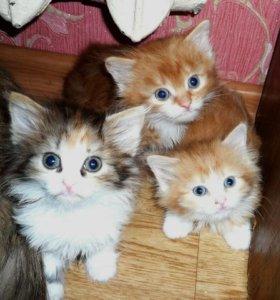 Котята сибирско-шотландские с кисточками на ушах