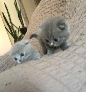 Вислоухие котятки мальчик и девочка, чистокровные