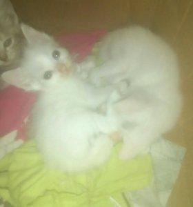 Отдам двух беленьких котят