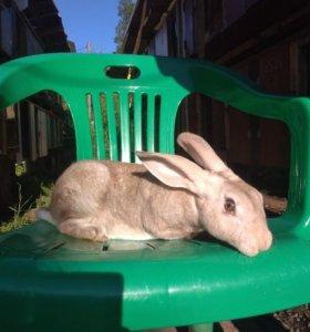 Кролики рекс мясошкурковый