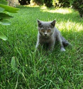 Породистые котята почти даром
