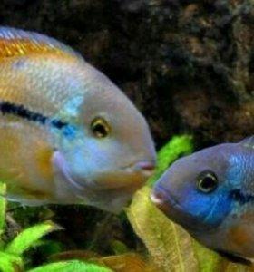 Пара никарагуанских цихлозом15—20см,иодин самец18с
