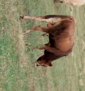 Коровы и бычки