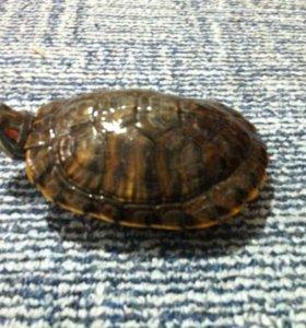черепахи водиная