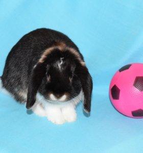 Породистый кролик из питомника редкого окраса
