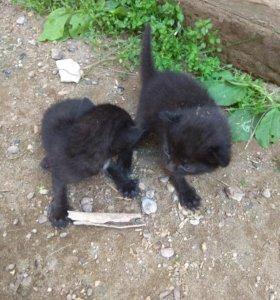 Отдам 2 черных котят.