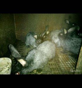 Кролики серебро договорная 2-3 месяц