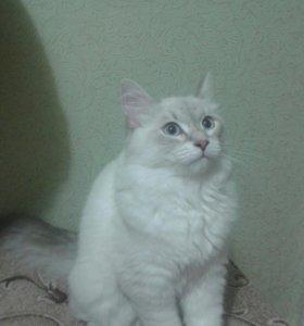 Невская маскарадная, кошечка 6 месяцев
