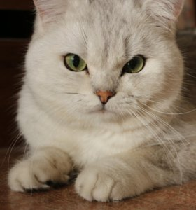 Кот британский серебристый затушеванный ns11 вязка