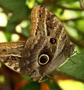 Живые тропические бабочки Caligo Memnon