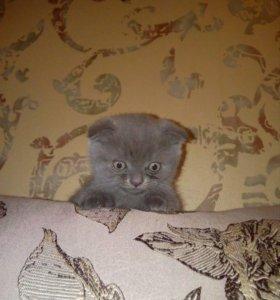 Продам котенка скотиш фолд